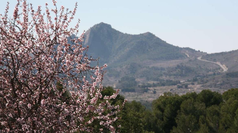Almendra Marcona, la 'pepita de oro' de Alicante