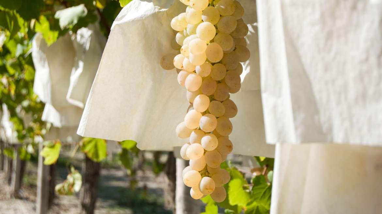 La uva de mesa se moviliza contra el precio del seguro agrario