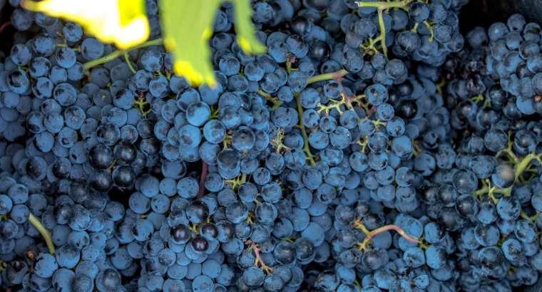 La DOP Alicante cerró la vendimia con 30,4 millones de kilos de uva