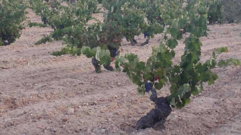 La DOP Vinos de Alicante trabaja en la recuperación de variedades antiguas
