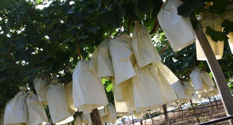 La Uva del Vinalopó reunirá a los mejores cocineros de la provincia