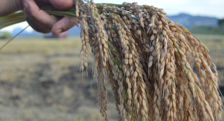 El arroz de la Marjal de Pego, entre los que contiene menos arsénico