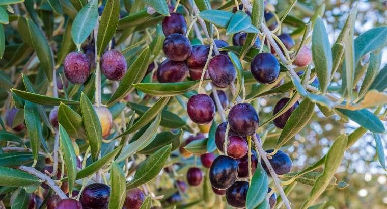 Aceite de oliva 'made in Alicante'