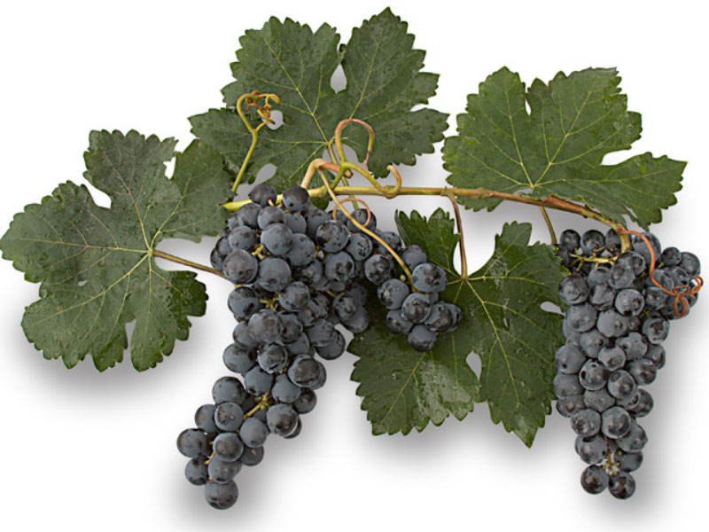 Monastrell, la uva que nunca se fue