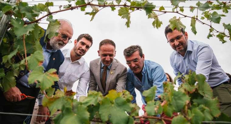 Los Vinos de Alicante DOP inician la vendimia en Pinoso
